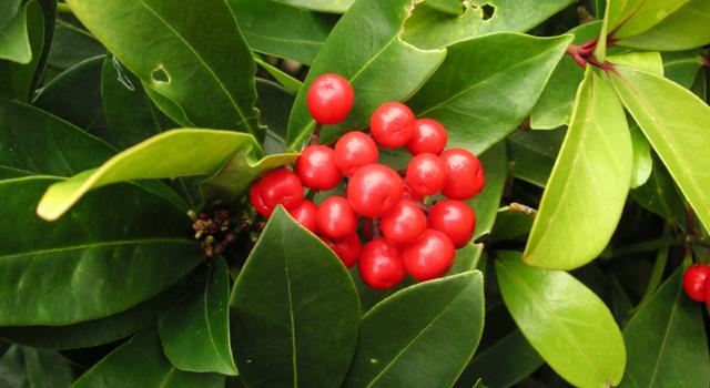 L'huile essentielle de Gaulthérie : un équivalent naturel de l'aspirine