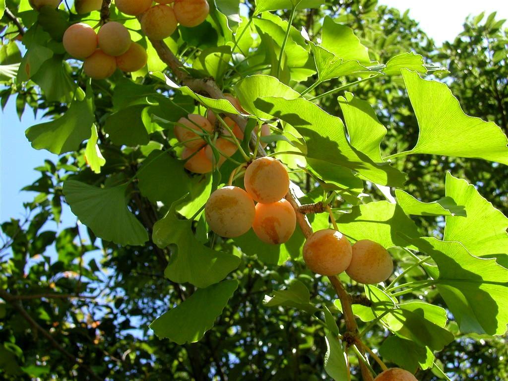 Existant depuis plus de 270 millions d'années, le Ginkgo biloba, est appelé l'arbre de la longévité.