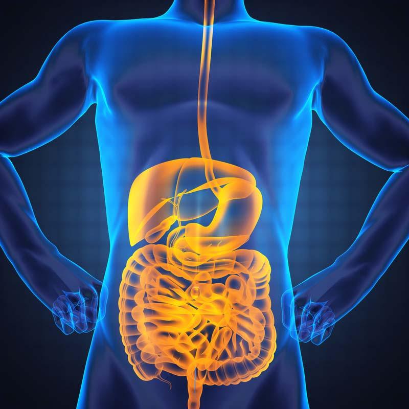 Les probiotiques contribuent à une bonne digestion en empêchant les mauvaises bactéries de se propager. La dynamisation du transit intestinal aide le système digestif à mieux absorber les fibres et les nutriments contenus dans les aliments que vous mangez.