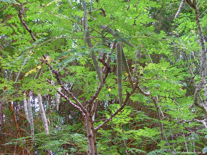 Le moringa, un arbre aux multiples vertus extraordinaires