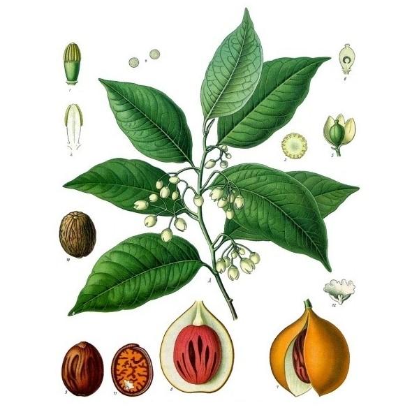 Le muscadier est le seul arbre à produire 2 épices en même temps