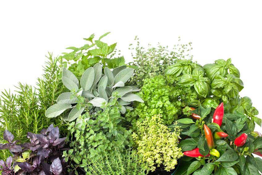 Les plantes aromatiques possèdent toutes sortes de vertus
